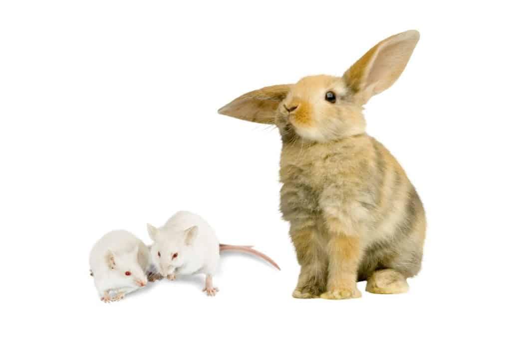 Can Mice Harm Rabbits