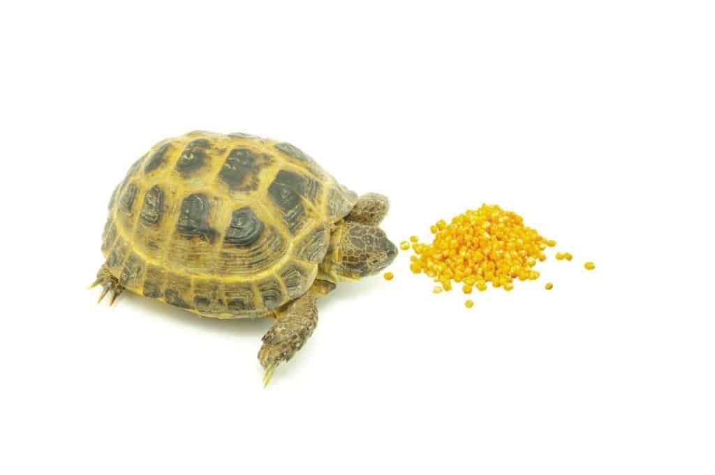 Can Turtles Eat Corn