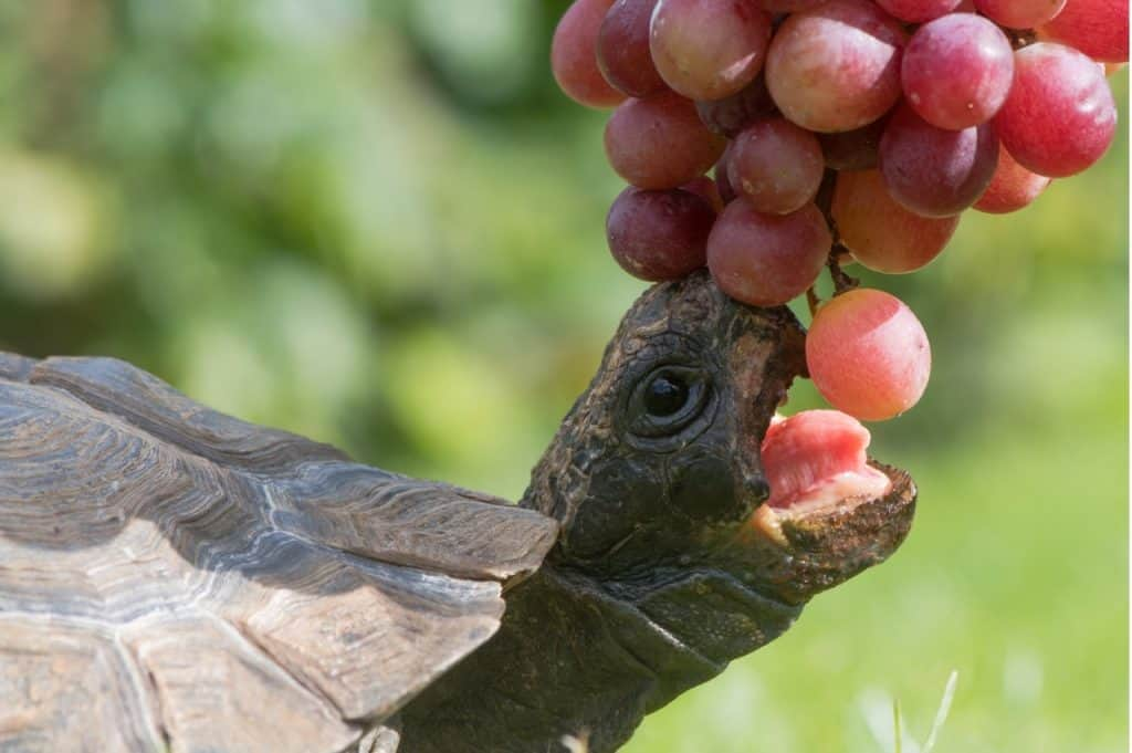 Can Turtles Eat Grapes