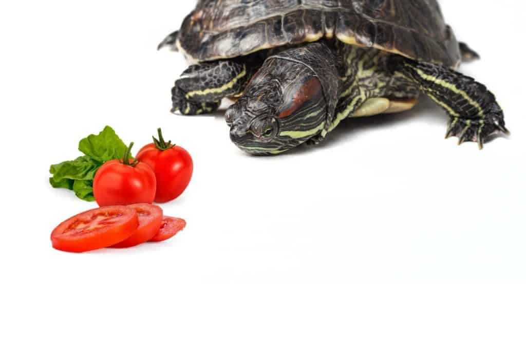 Can Turtles Eat Tomatoes
