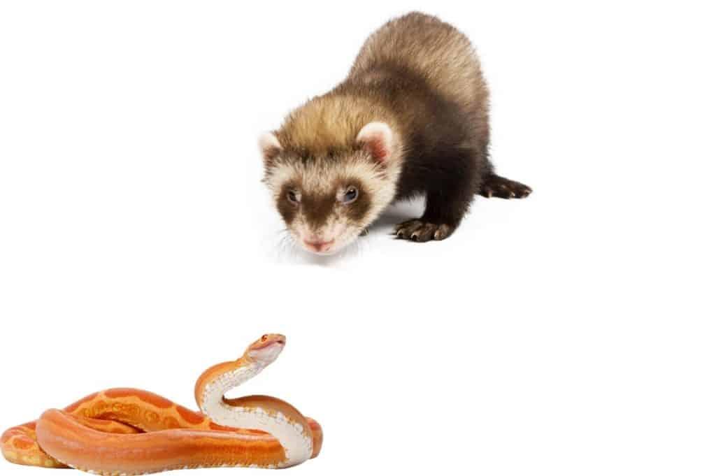 Do Ferrets Eat Snakes