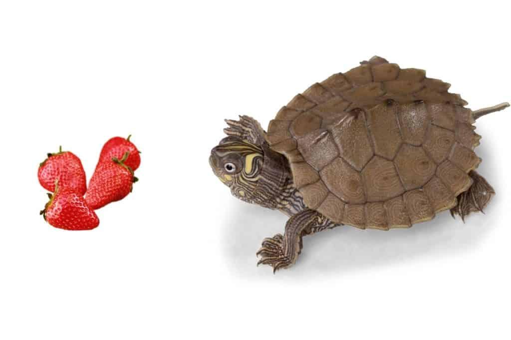Can Turtles Eat Strawberries