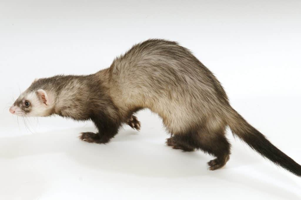 What Do Ferrets Smell Like