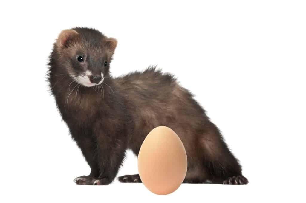 Can Ferrets Eat Raw Eggs
