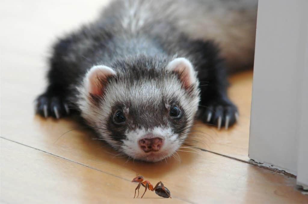 Can Ferrets Eat Ants