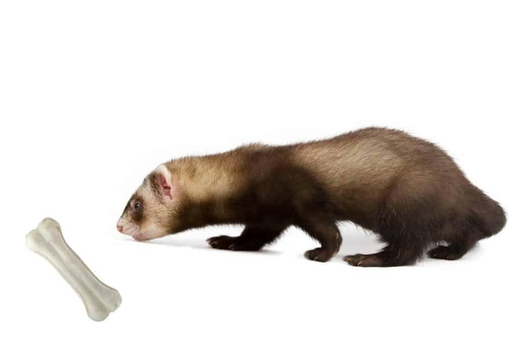 Can Ferrets Eat Bones
