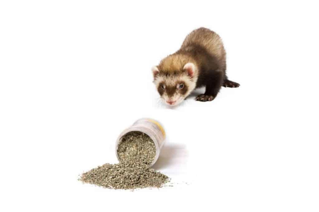 Can Ferrets Eat Catnip