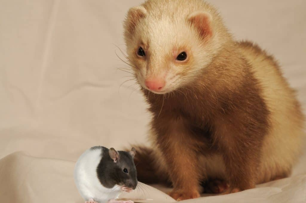 Can Ferrets Eat Mice