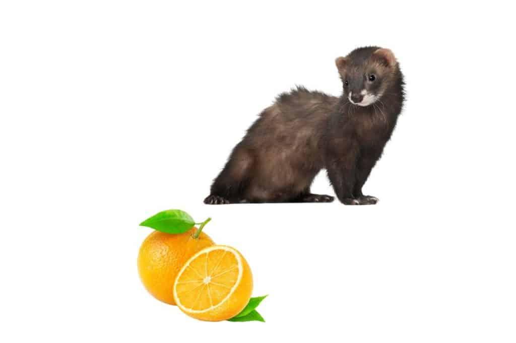 Can Ferrets Eat Oranges