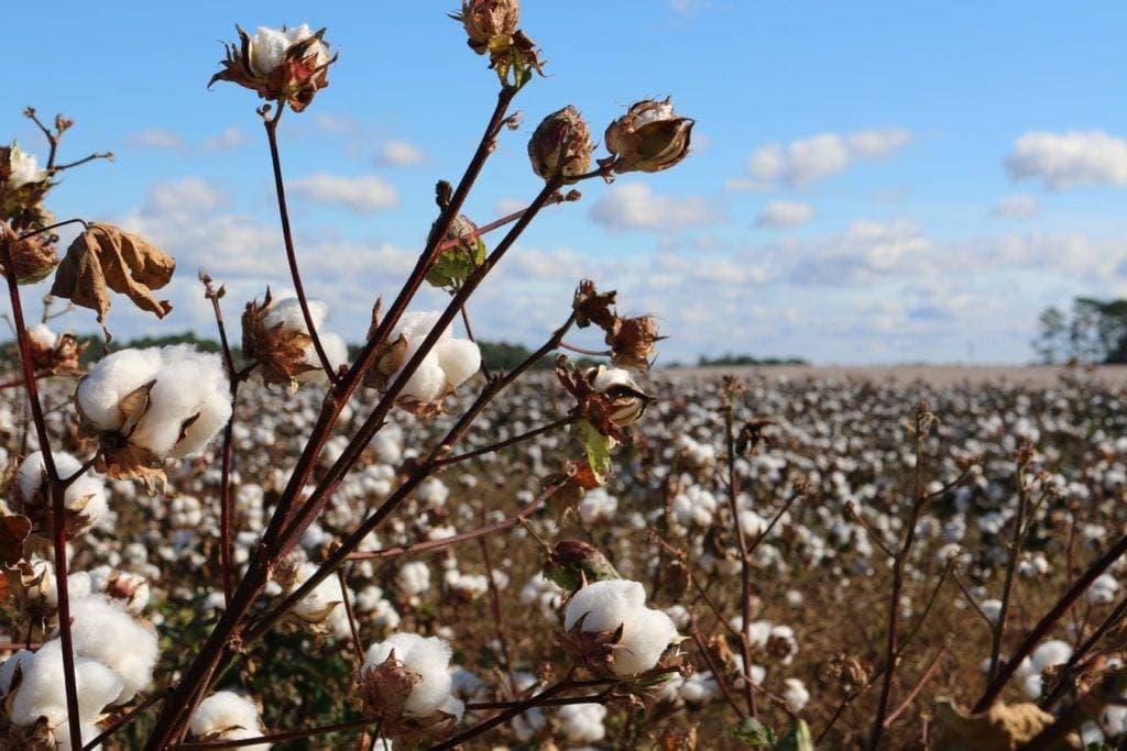 Baumwolle-Nachhaltigkeit-Verantwortung