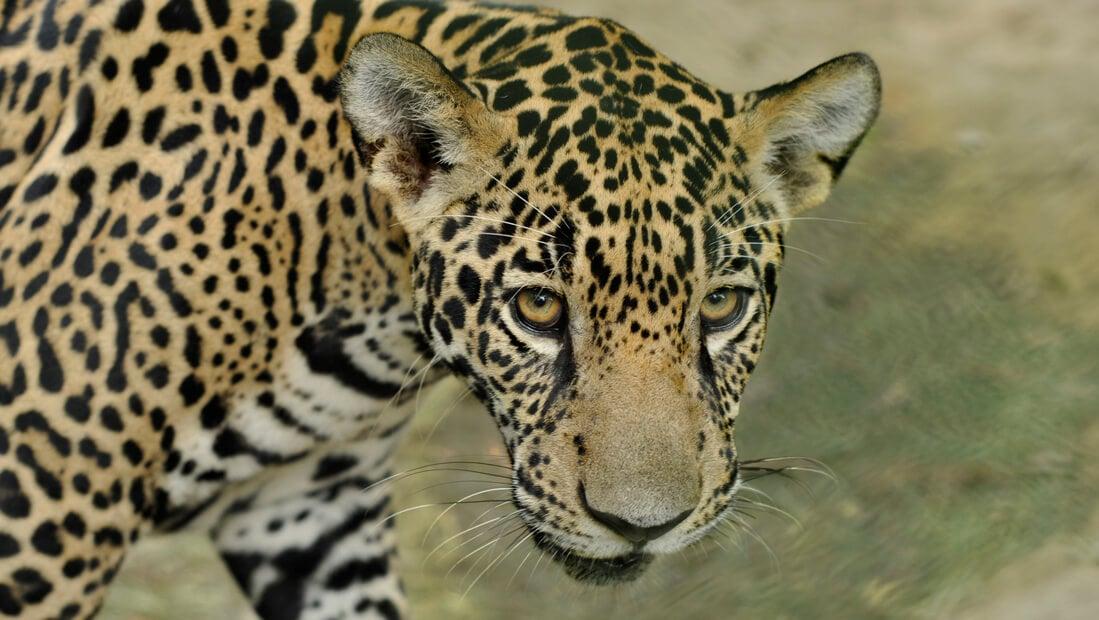 Rescate Jaguar