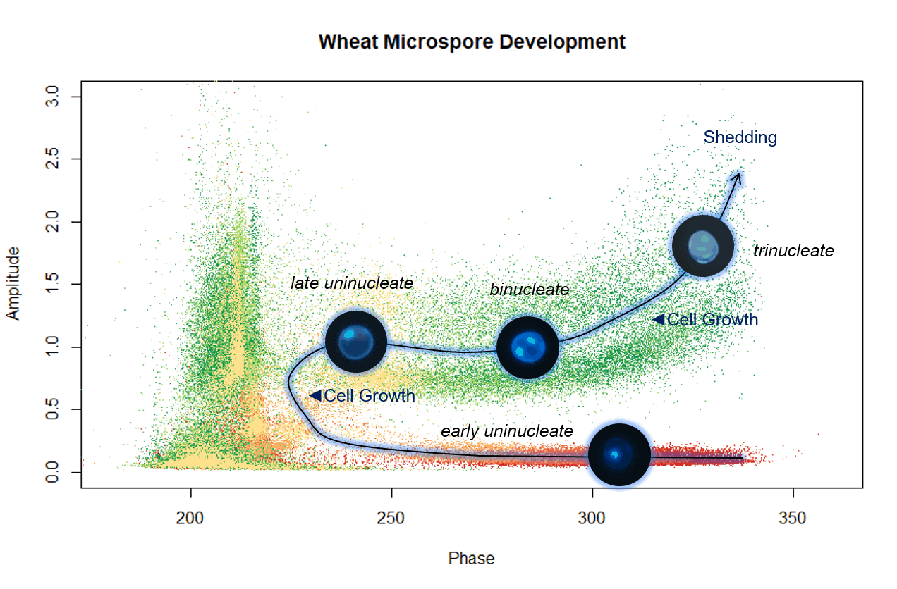 a graph showing the developmental stages of wheat microspores