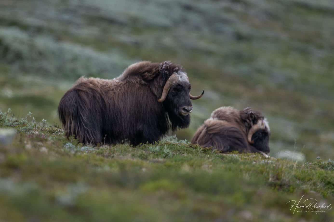 Muskox @ Dovrefjell-Sunndalsfjella National Park. Photo: Håvard Rosenlund