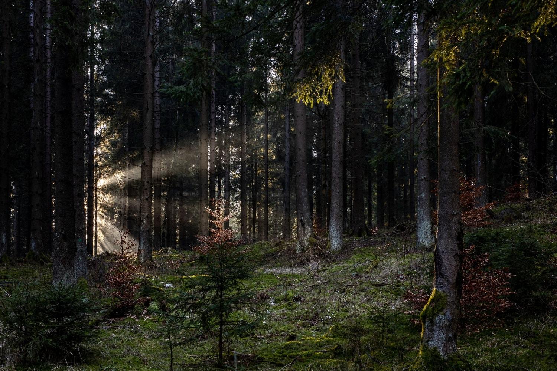 Sonnenstrahlen im grünen Thüringer Wald, fotografiert mit der Canon EOS R & Sigma Art 50mm