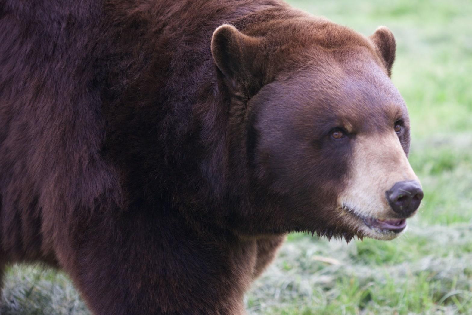 Thunder Black Bear