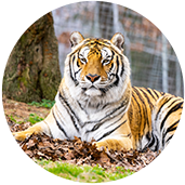 Poncho Tiger