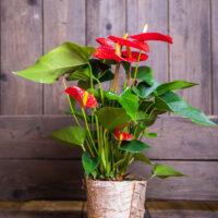 Amazone Plants 16