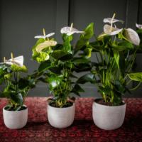 Amazone Plants (3)
