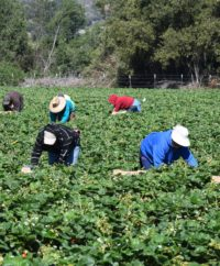 california farmworkers without protective equipment