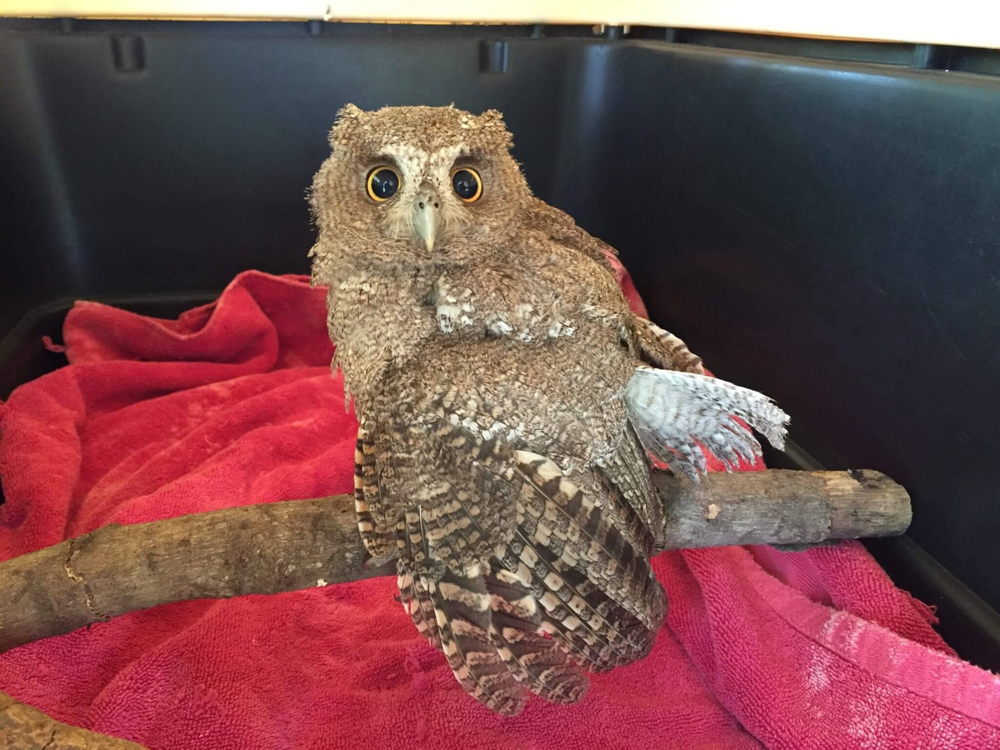 You are currently viewing Owl (<em> Megascops cooperi</en>).