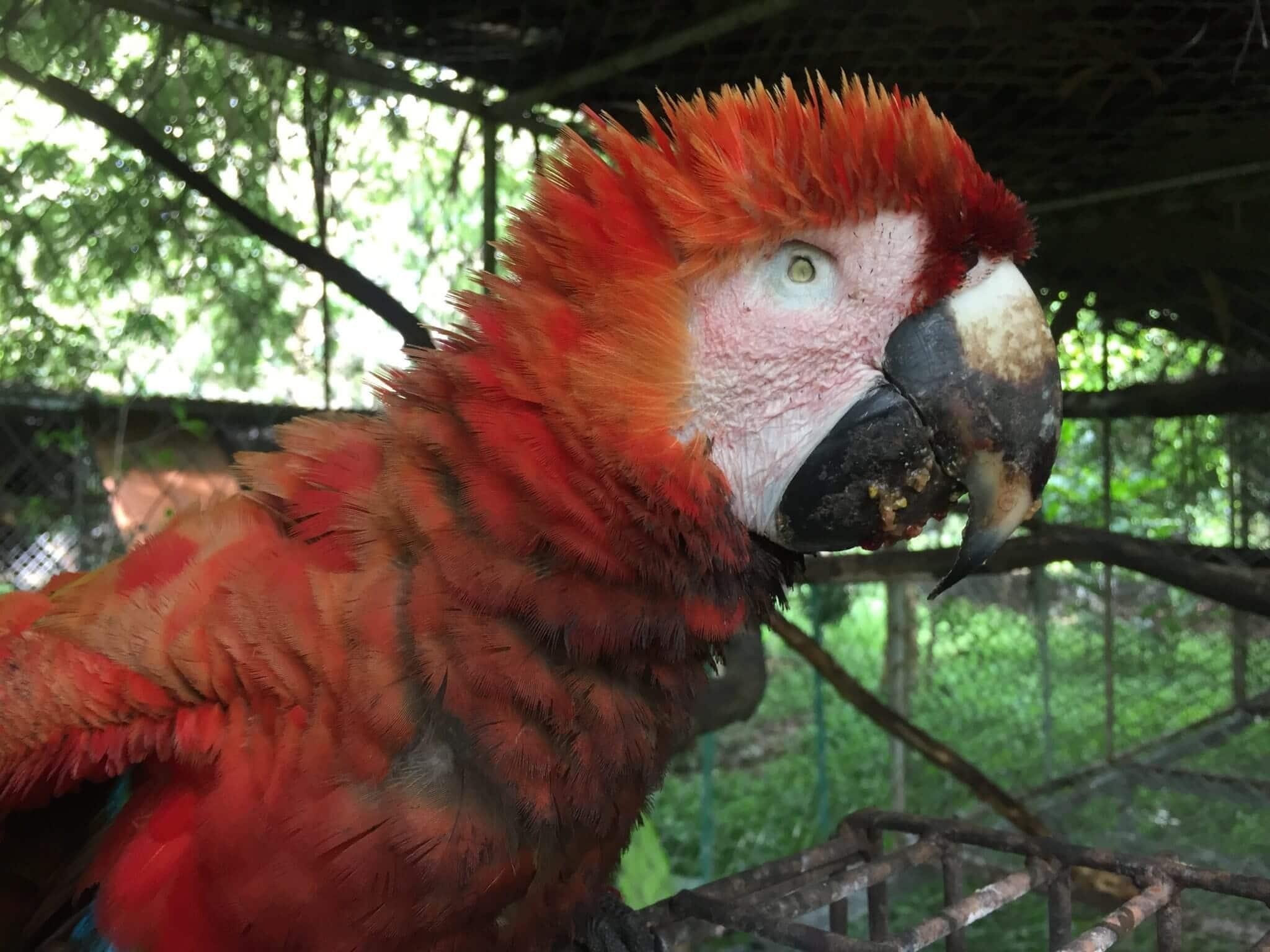 En este momento estás viendo Guacamayo rojo (<em>ara macao</em>) rescatado en Tárcoles.