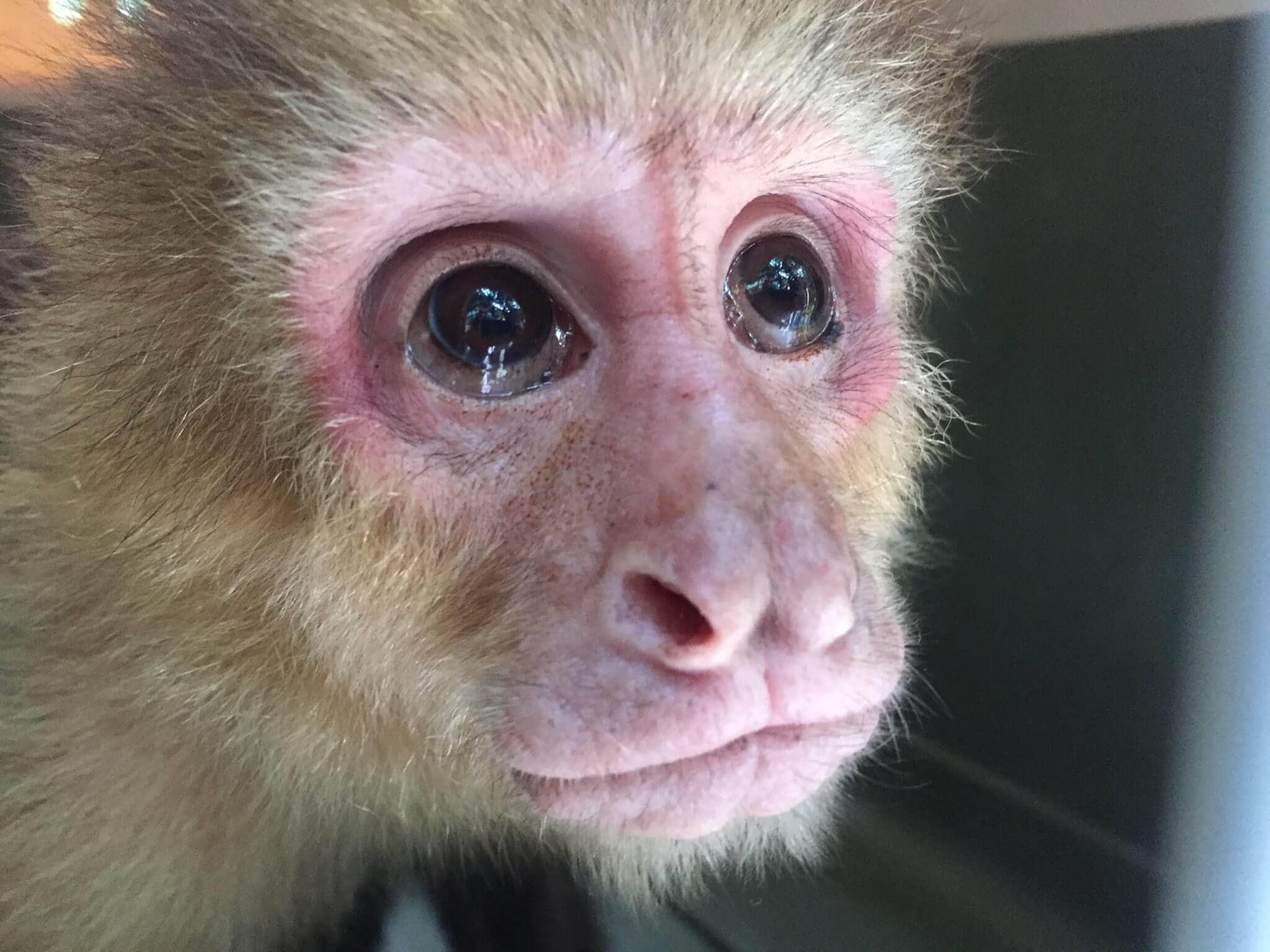 En este momento estás viendo Rescate de Monos Cara Blanca (<em>Cebus imitator</em>)