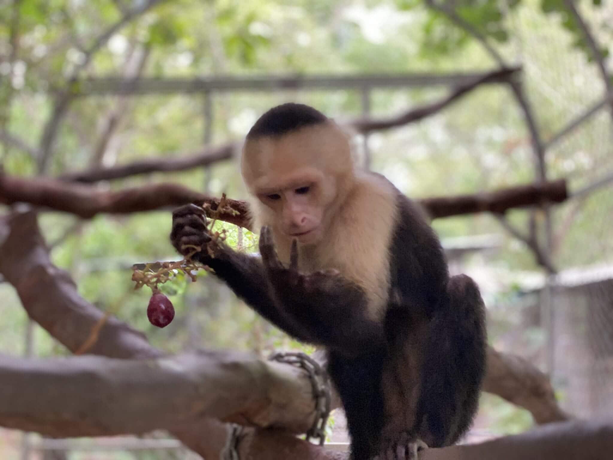 En este momento estás viendo El Mono Carablanca (Rescate)