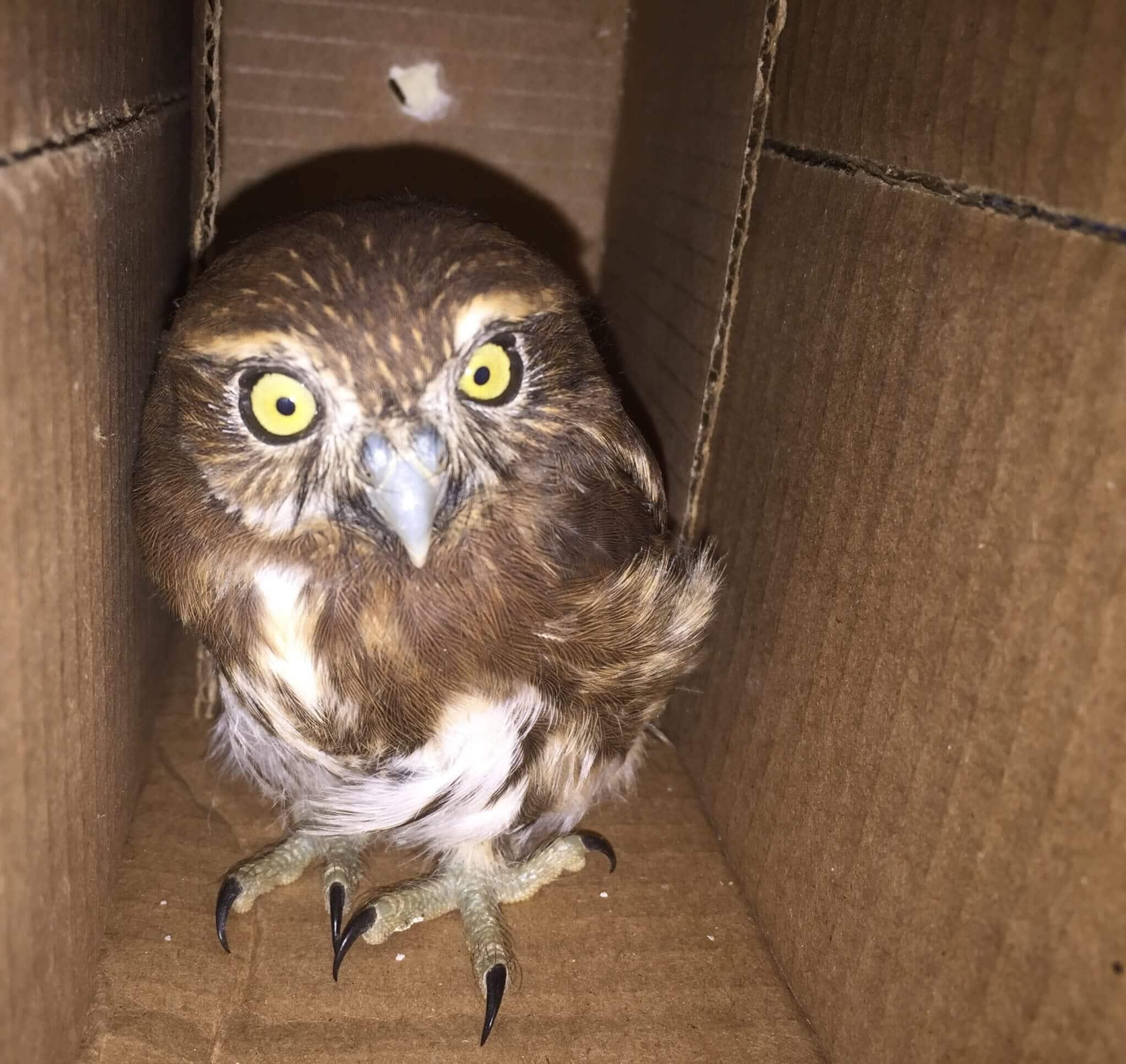 You are currently viewing Pygmy Owl (<i> Glaucidium costaricanum </ i>) rescued in Puntarenas