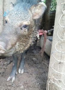 Lee más sobre el artículo Saino crece estando encadenado (<em>Pecari tajacu</em>).