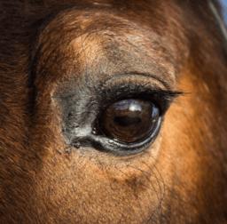 Nahaufnahme eines Pferdeauges