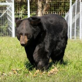 Harley Black Bear