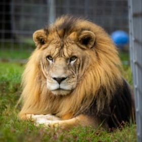 Willy Lion