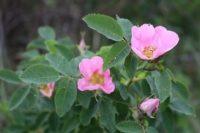 flor rosa mosqueta