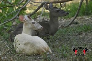 Read more about the article Albino Deer (<i> Odocoileus virginianus truei </ i>)