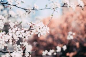 A picture of beautiful apple blossoms