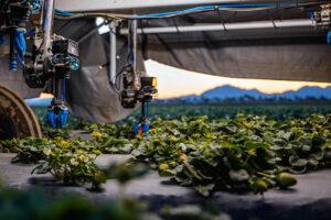 Automatic harvesting by image sensors and AI. - Photo: Kubota