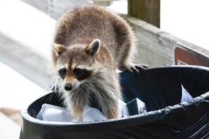 Raccoon digging through trash