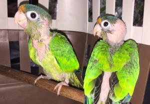 Read more about the article Catano Parakeet (<i>Eupsittula canicularis</i>)