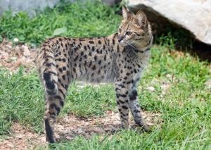 Tigger Savannah Cat