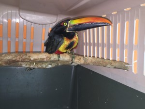 Read more about the article Fiery-billed Aracari (<i>Pteroglossus frantzii</i>)