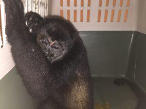 Lee más sobre el artículo Mono congo (<em>Alouatta palliata</em>).
