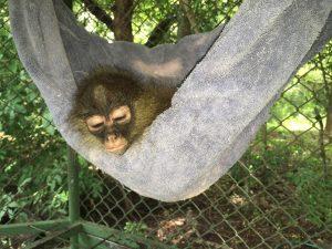 Lee más sobre el artículo Mono araña (<em>Ateles geoffroyi</em>) huérfano.