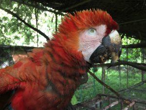 Lee más sobre el artículo Guacamayo rojo (<em>ara macao</em>) rescatado en Tárcoles.