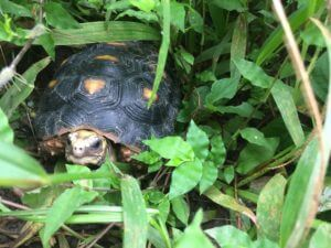 Yellow footed tortoise