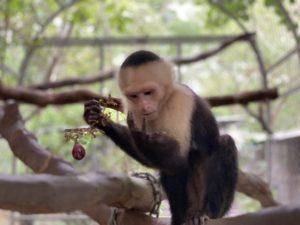 Lee más sobre el artículo El Mono Carablanca (Rescate)