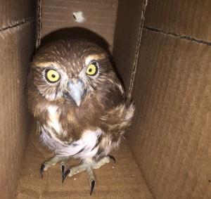 Read more about the article Pygmy Owl (<i> Glaucidium costaricanum </ i>) rescued in Puntarenas