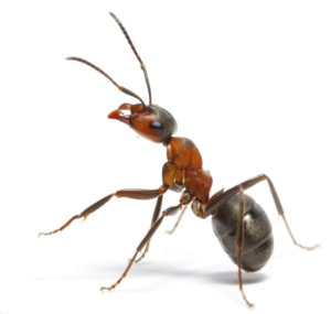 Ant Inspection and Removal