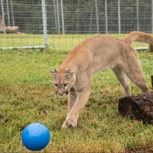 Marissa Mountain Lion