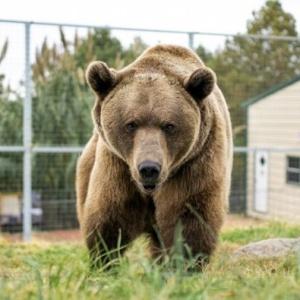 Bam Bam Grizzly Bear