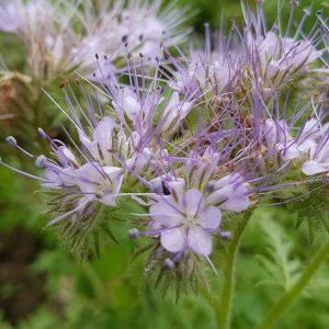 Aitohunajakukka - Phacelia tanacetifolia - Honungsfacelia frön - Mesikasvien siemenet.